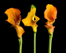 Botanical home decor of yellow and orange calla lillies