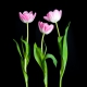 Botanical home decor of three pink tulips