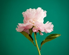 Botanical home decor print of a pink peony flower