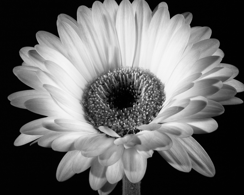 Botanical home decor print of a black and white Gerbera