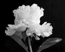 Botanical home decor print of a black and white Peony