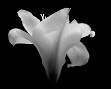 Botanical home decor print of a black and white oriental lilly