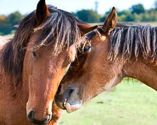 A photo of two horses showing their affection