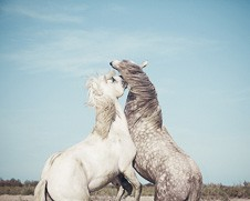 A wall art print of two Sparing Stallions