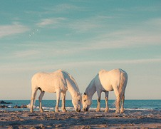 Wall art of two white horses grazing together on the beach