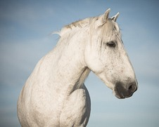 Wall art of a portrait of a white horse
