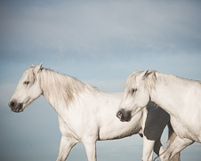 A wall art photo of two white horses strolling on the beach