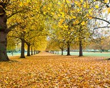 Photograph of oak trees in full autumn colors in Windsor Great Park.
