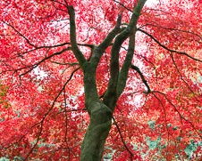 Wall art photo of a red Japanese maple tree in the autumn